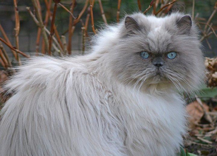 Le chat : un animal de compagnie