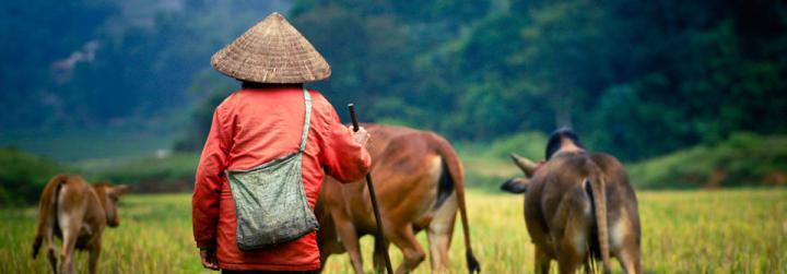 Un berger avec ses buffles au Vietnam